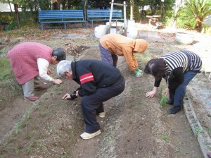 玉ねぎを植えています