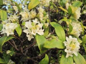 園庭の白い沈丁花