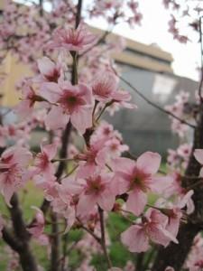 園庭の小さな花のさくら とっても早咲き