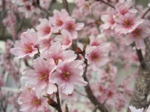 園庭の小さな花のさくら