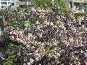 ぼたん桜満開