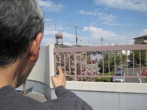 指さす彼方にぼたん桜が