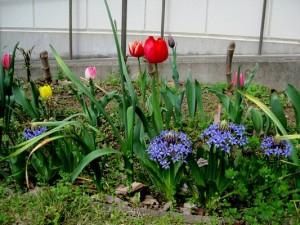 咲いた咲いたちゅーりっぷと仲間たち