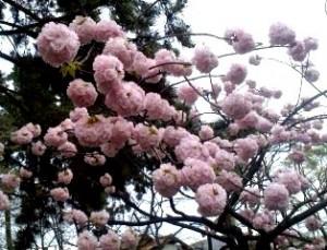 八重桜ぼんぼん1