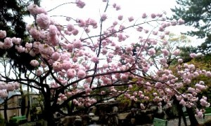 八重桜ぼんぼん2