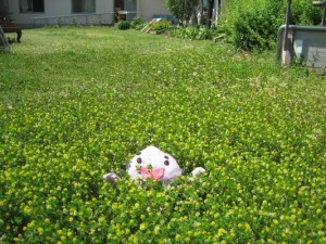 芝生をほったらかしにしたらこんなにかわいい黄色い花がさきました