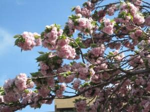 青空に映えるぼたん桜