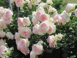 ほのかなピンクのバラ