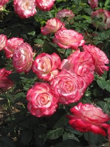 渕がピンクの淡いバラ