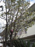 裏庭の桜に挟まったピーチ君