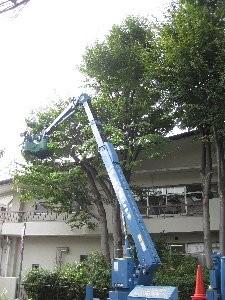 屋根より高いカエデの剪定です