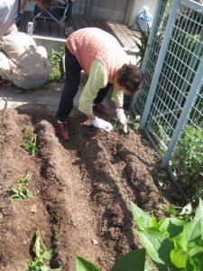 一生懸命さつまいもの苗を植え付けてくださいました