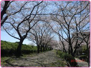 桜(下見)