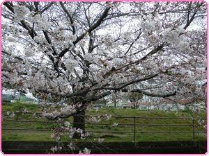 桜ウィーク4
