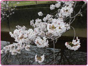 桜ウィーク3