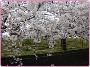 桜ウィーク2
