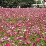 ピンクのコスモス畑の写真