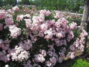 桜のようなバラです