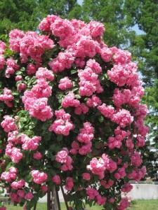 ピンクのこバラ