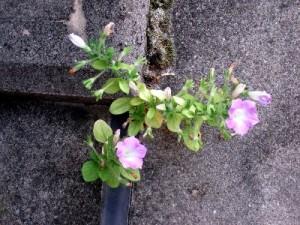 とっても小さいピンクの花をつけて